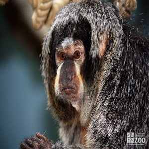 Pale-Headed Saki Monkey Close Up 2