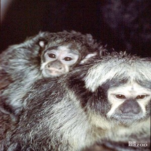 Pale-Headed Saki Monkey and Infant