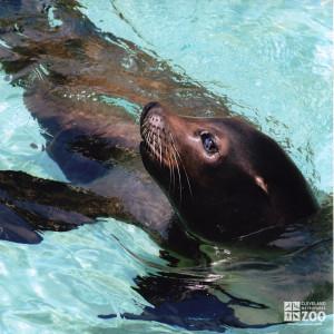 California Sea Lion in Water