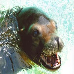 Sea Lion Close Up