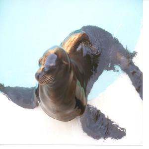 Harbor Seal in Water