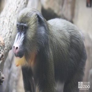Mandrill Looks Left