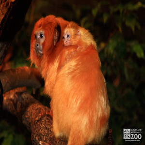 Golden Lion Tamarin with Baby on Back