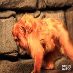 Golden Lion Tamarin Walks with Sleeping Baby