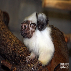 Pied Tamarin and Baby 2
