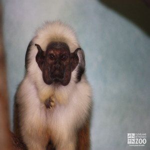 Pied Tamarin Looks Ahead with Baby