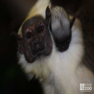 Pied Tamarin Looks Ahead with Baby 2