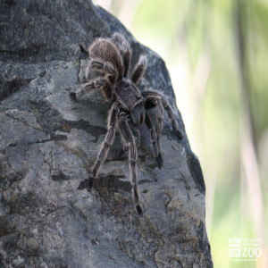 Rose Haired Tarantula on Rock