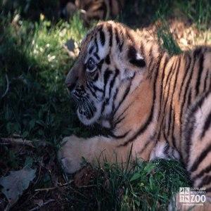 Tiger Cub Close Up