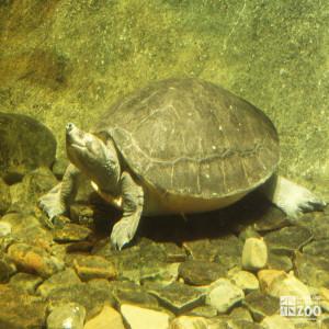 Batagur Turtle