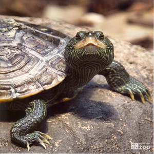 Common Map Turtle Looking Ahead