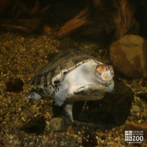 Yellow-Spotted Amazon River Turtle 3