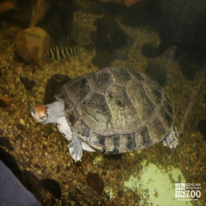 Yellow-Spotted Amazon River Turtle 4