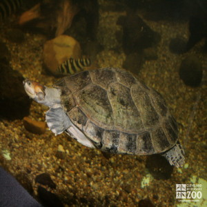 Yellow-Spotted Amazon River Turtle 5
