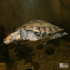 Yellow-Spotted Amazon River Turtle 6