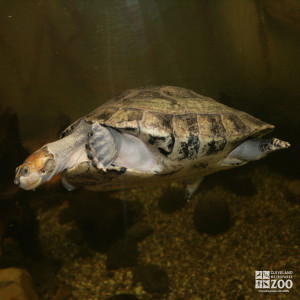 Yellow-Spotted Amazon River Turtle 8