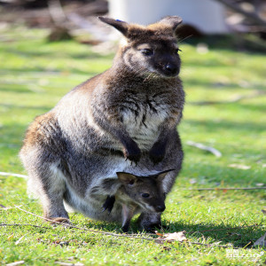 Bennett's Wallaby with Joey