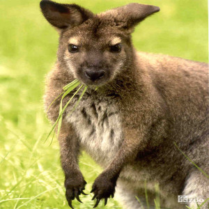 Bennett's Wallaby Munching