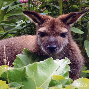 Bennett's Wallaby Looks through Leaves
