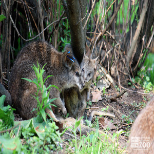 Parma Wallaby and Baby