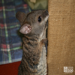 Baby Parma Wallaby - Foster
