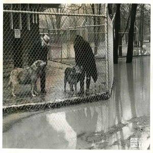 1940 - Alaskan Huskies