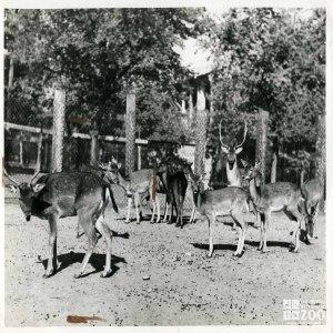 1940 - Deer