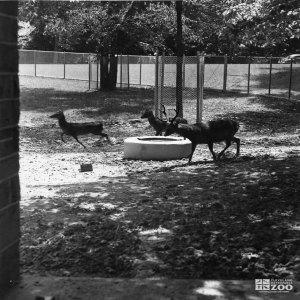 1948 - Deer