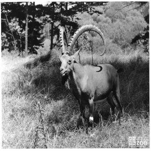 1940's - Ibex Munching