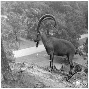 1940's - Ibex over Big Creek (2)