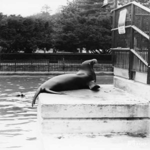 1941 - Sea Lion and Child