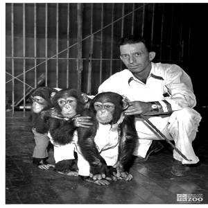 1950's - Keeper and Infant Chimpanzees