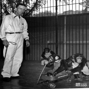 1950's - Keeper and Infant Chimpanzees (2)