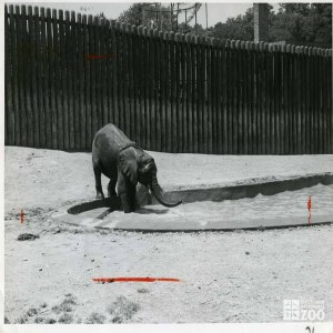 1959 - Asian Elephant Bathing