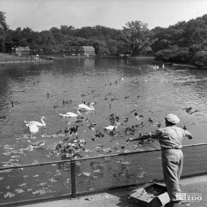 1953 - Feeding the Birds at Waterfowl Lake