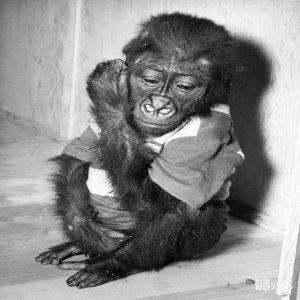 1950's - Gorilla Baby