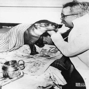 1950's - Baby Pigmy Hippo