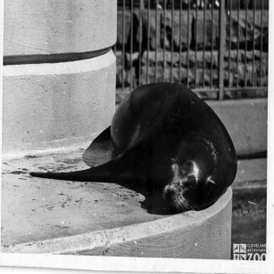 1960's - Sea Lion on Ledge at Old Sea Lion Pool