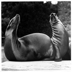 1960's - Two Sea Lions