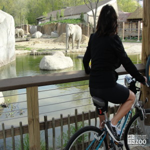 Zoo Visitor Observes African Elephant Crossing Exhibit during Wild Ride
