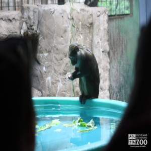 Creature Comforts: A Primate's Pool