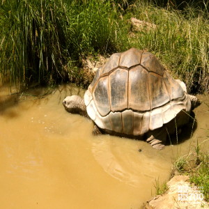 Aldabra Tortoise 3