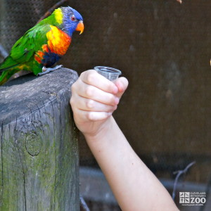 Blue Mountain Lorikeet 2