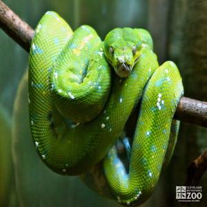 Green Tree Python 1