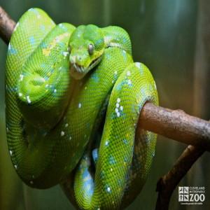 Green Tree Python 3