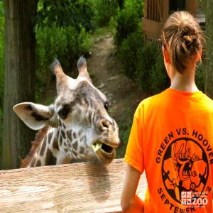 Giraffe feeding 2