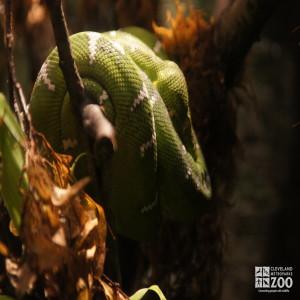 Emerald Tree Boa 1