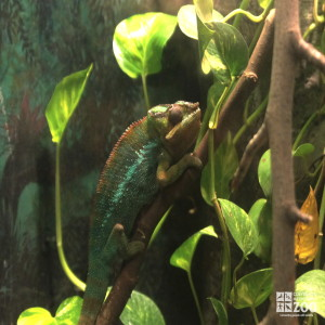 Panther Chameleon 5