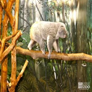 Koala Walking 2