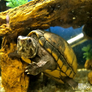 Striped Mud Turtle 3